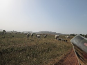 Cattle grazing on either side of the footpath, during the bike ride to Ket Village, in Barkin Ladi Local Government